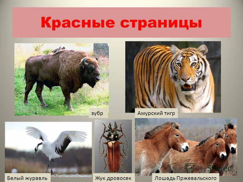 Красные страницы зубр Амурский тигр Белый журавль Лошадь Пржевальского Жук дровосек