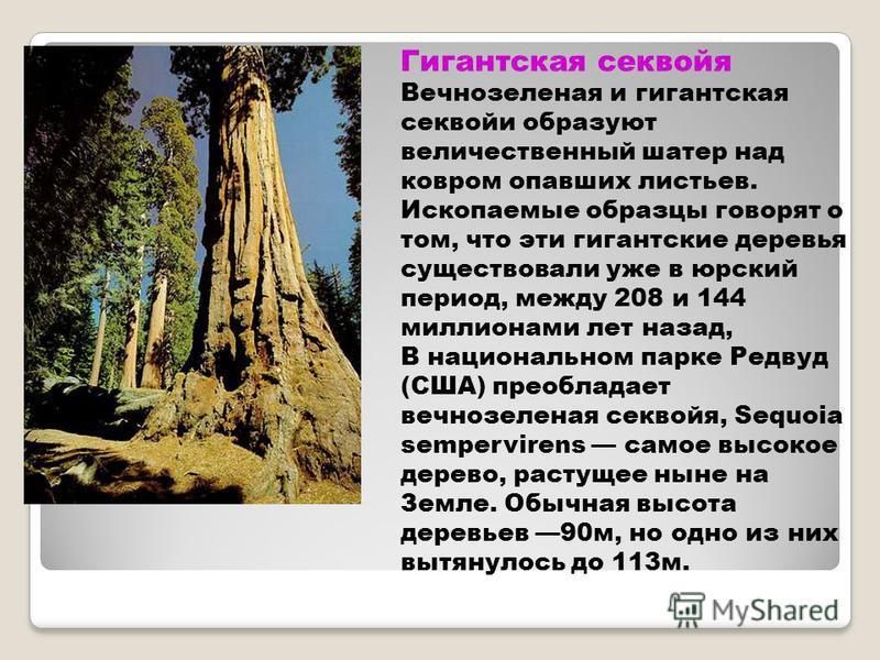 Гигантская секвойя Вечнозеленая и гигантская секвойи образуют величественный шатер над ковром опавших листьев. Ископаемые образцы говорят о том, что эти гигантские деревья существовали уже в юрский период, между 208 и 144 миллионами лет назад, В наци