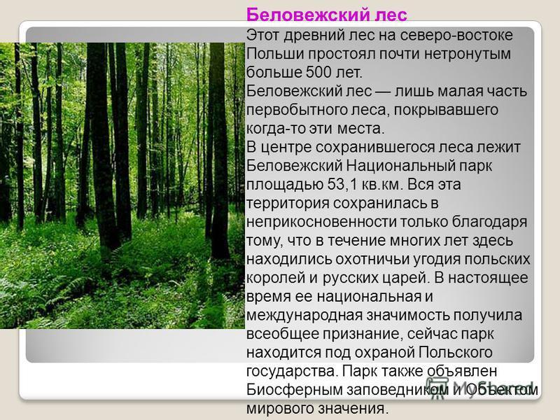 Беловежский лес Этот древний лес на северо-востоке Польши простоял почти нетронутым больше 500 лет. Беловежский лес лишь малая часть первобытного леса, покрывавшего когда-то эти места. В центре сохранившегося леса лежит Беловежский Национальный парк