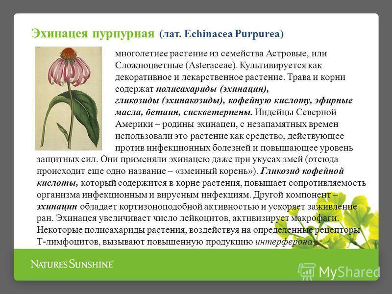 многолетнее растение из семейства Астровые, или Сложноцветные (Asteraceae). Культивируется как декоративное и лекарственное растение. Трава и корни содержат полисахариды (эхинацин), гликозиды (эхинакозиды), кофейную кислоту, эфирные масла, бетаин, се