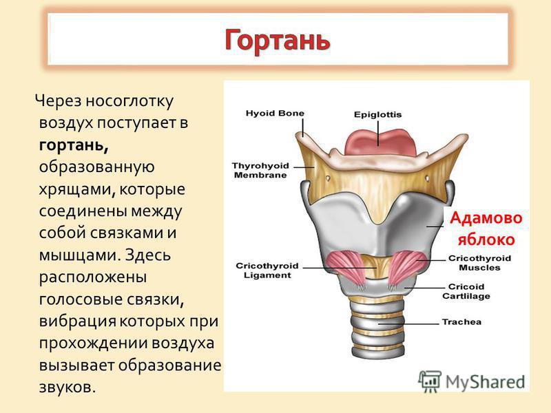 Через носоглотку воздух поступает в гортань, образованную хрящами, которые соединены между собой связками и мышцами. Здесь расположены голосовые связки, вибрация которых при прохождении воздуха вызывает образование звуков. Адамово яблоко