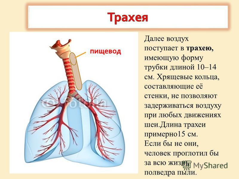 Далее воздух поступает в трахею, имеющую форму трубки длиной 10–14 см. Хрящевые кольца, составляющие её стенки, не позволяют задерживаться воздуху при любых движениях шеи.Длина трахеи примерно 15 см. Если бы не они, человек проглотил бы за всю жизнь