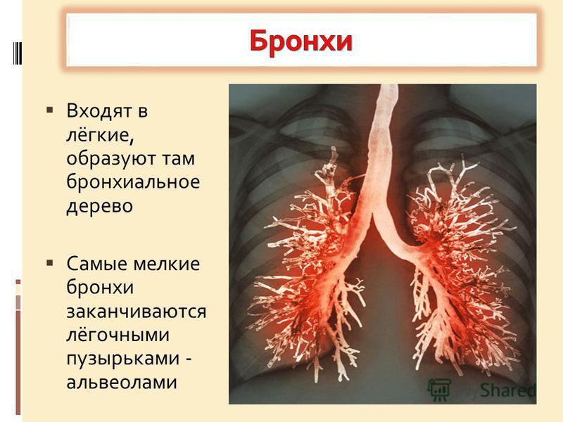 Входят в лёгкие, образуют там бронхиальное дерево Самые мелкие бронхи заканчиваются лёгочными пузырьками - альвеолами