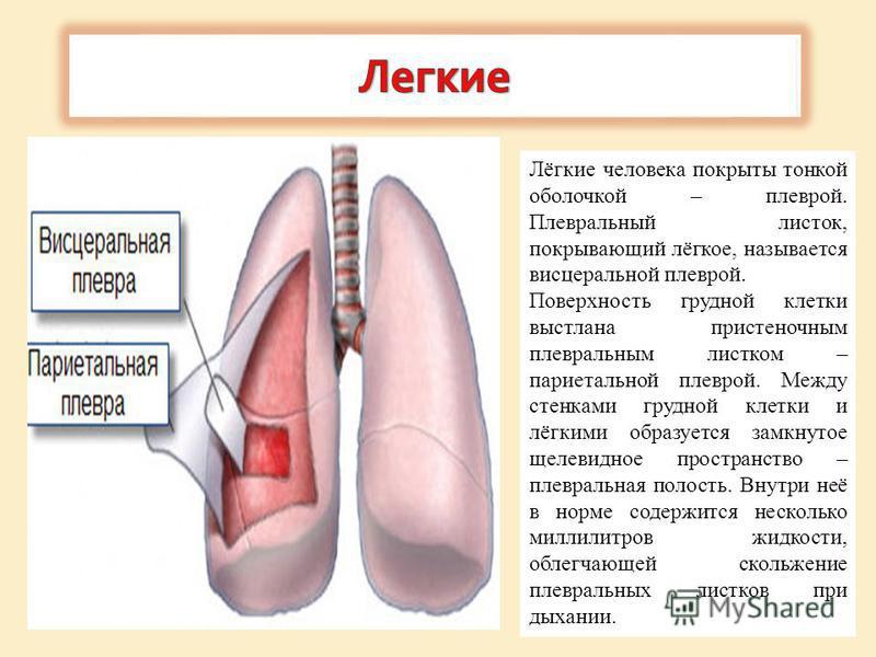 Лёгкие человека покрыты тонкой оболочкой – плеврой. Плевральный листок, покрывающий лёгкое, называется висцеральной плеврой. Поверхность грудной клетки выстлана пристеночным плевральным листком – париетальной плеврой. Между стенками грудной клетки и