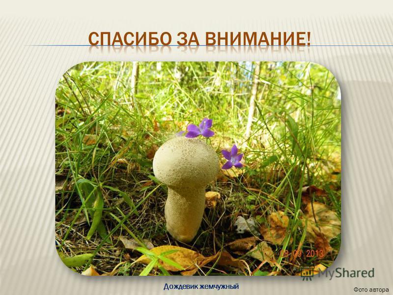 Фото автора Дождевик жемчужный