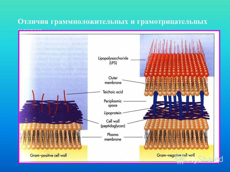 Отличия грамположительных и грамотрицательных клеток