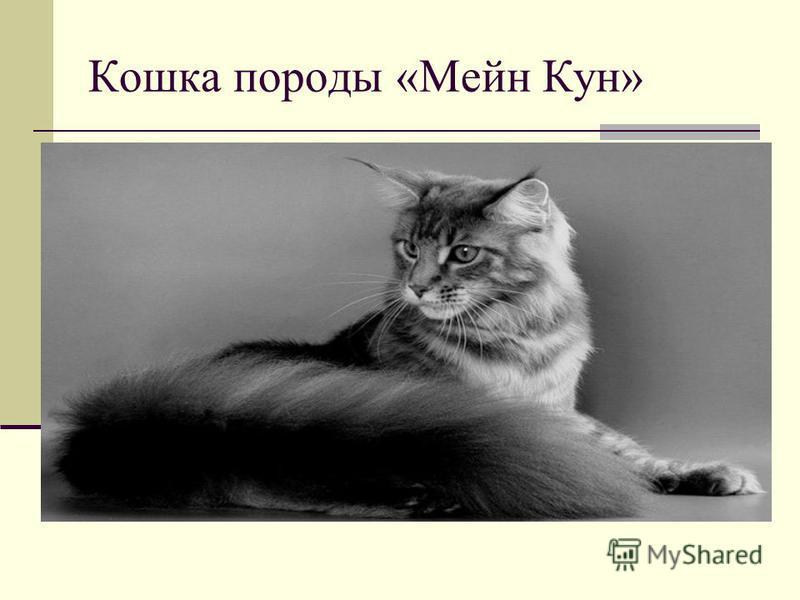 Кошка породы «Мейн Кун»