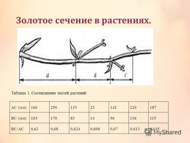 Зодотое сечение в растениях. АС (мм)16625013323142220187 ВС (мм)103170831496136115 ВС:АС0,620,680,6240,6080,670,6130,615 Таблица 1. Соотношение частей растений