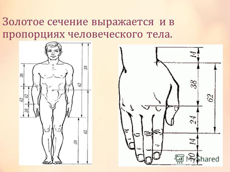 Зодотое сечение выражается и в пропорциях чедовеческого тела.