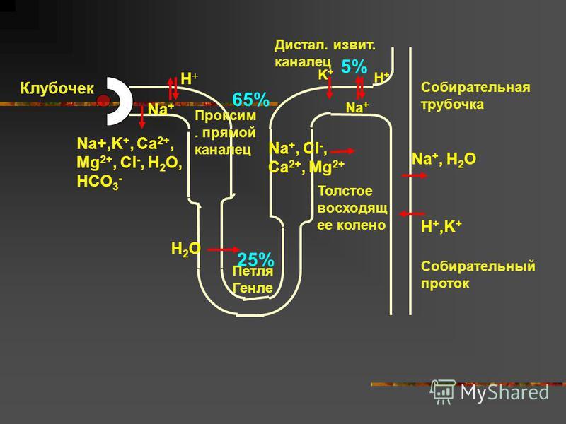 Na+,K +, Ca 2+, Mg 2+, Cl -, H 2 O, HCO 3 - H+H+ K+K+ Na +, Cl -, Ca 2+, Mg 2+ Na +, H 2 O H +,K + H2OH2O Толстое восходящийее колено Na + H+H+ Петля Генле Проксим. прямой каналец Собирательный проток Дистал. извит. каналец Клубочек 65% 25% 5% Собира