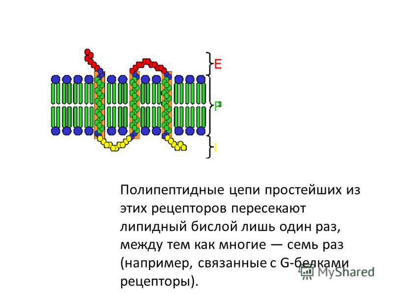 Полипептидные цепи простейших из этих рецепторов пересекают липидный бислой лишь один раз, между тем как многие семь раз (например, связанные с G-белками рецепторы).
