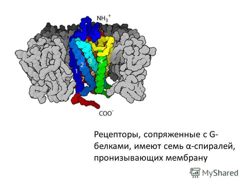 Рецепторы, сопряженные с G- белками, имеют семь α-спиралей, пронизывающих мембрану