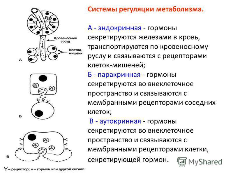 Системы регуляции метаболизма. А - эндокринная - гормоны секретируются железами в кровь, транспортируются по кровеносному руслу и связываются с рецепторами клеток-мишеней; Б - паракринная - гормоны секретируются во внеклеточное пространство и связыва