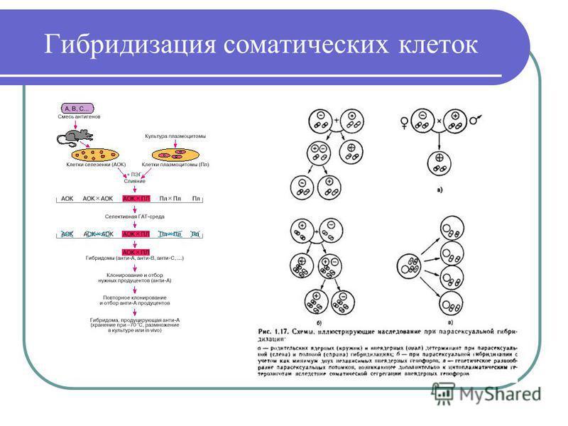 Гибридизация соматических клеток