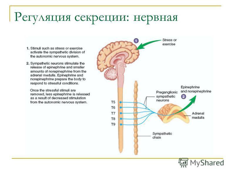 Регуляция секреции: нервная