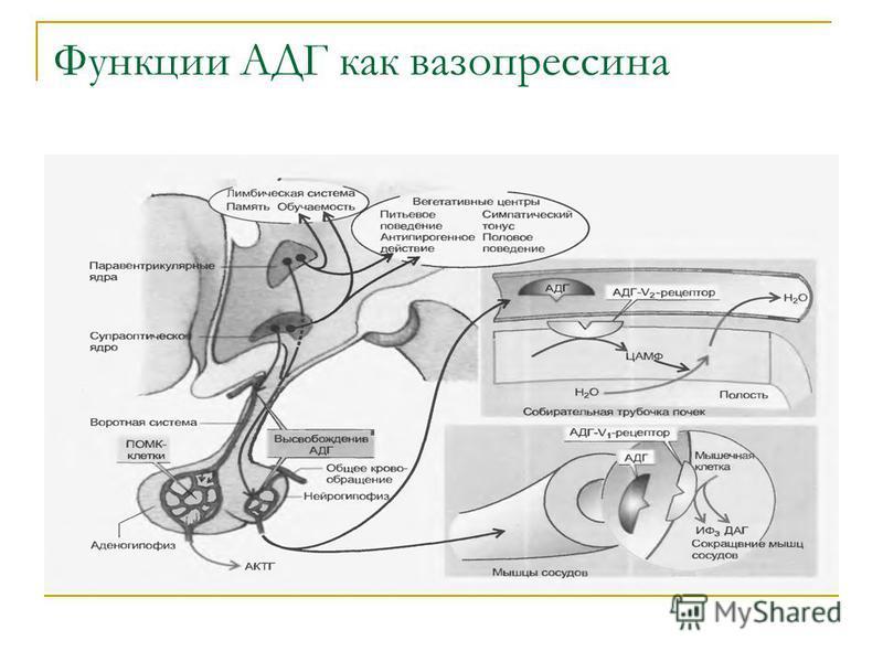 Функции АДГ как вазопрессина