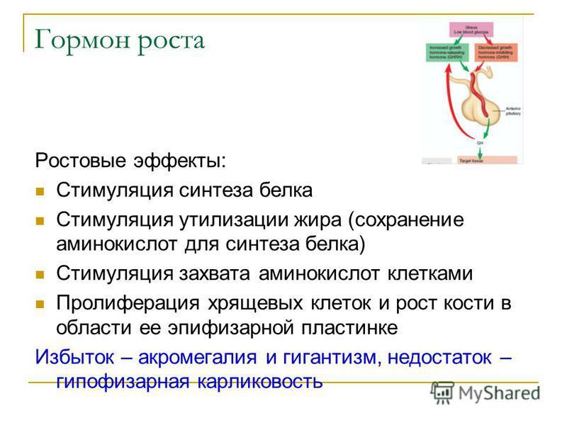 Гормон роста Ростовые эффекты: Стимуляция синтеза белка Стимуляция утилизации жира (сохранение аминокислот для синтеза белка) Стимуляция захвата аминокислот клетками Пролиферация хрящевых клеток и рост кости в области ее эпифизарной пластинке Избыток