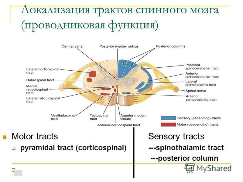 Локализация трактов спинного мозга (проводниковая функция) Motor tractsSensory tracts pyramidal tract (corticospinal)---spinothalamic tract ---posterior column