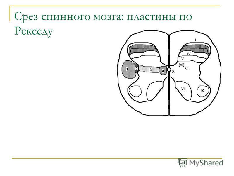 Срез спинного мозга: пластины по Рекседу