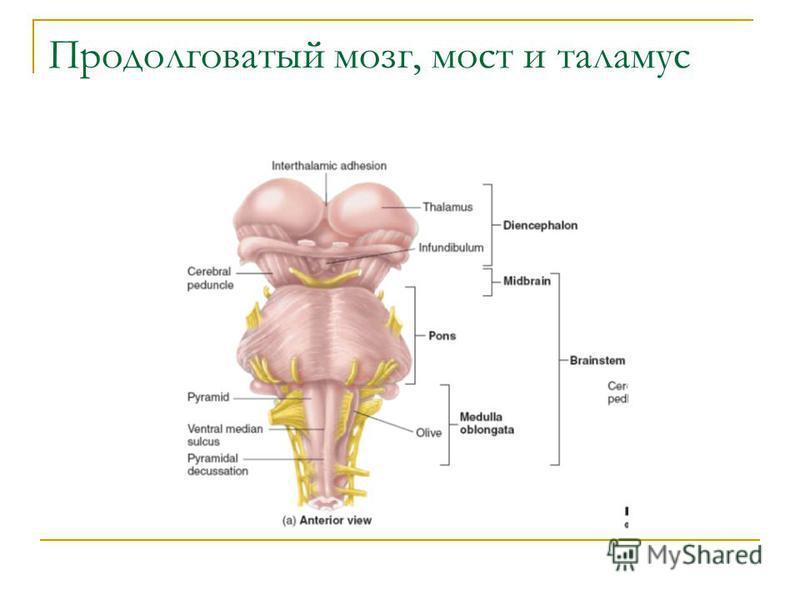 Продолговатый мозг, мост и таламус