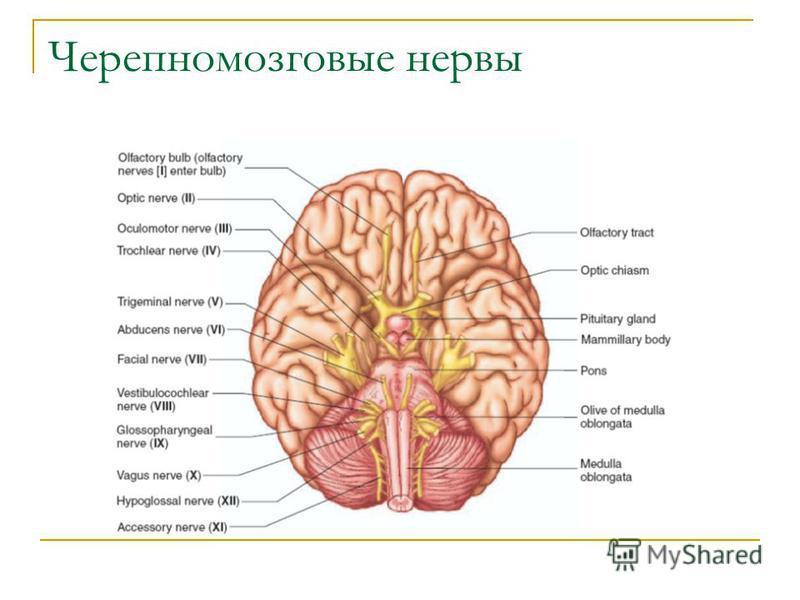 Черепномозговые нервы