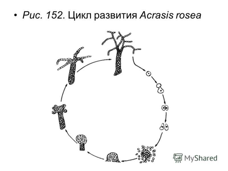 Рис. 152. Цикл развития Acrasis rosea
