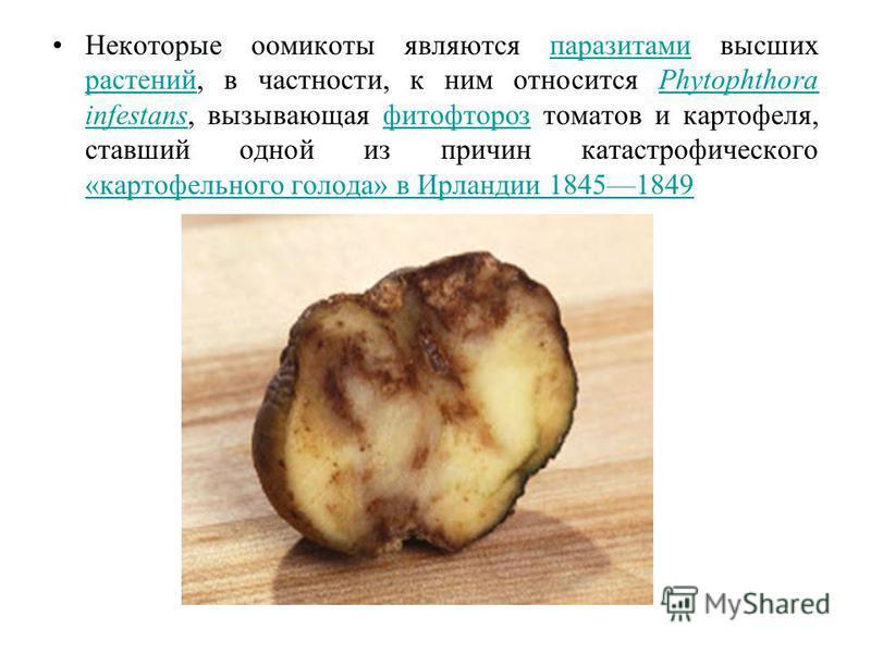 Некоторые оомикоты являются паразитами высших растений, в частности, к ним относится Phytophthora infestans, вызывающая фитофтороз томатов и картофеля, ставший одной из причин катастрофического «картофельного голода» в Ирландии 18451849 паразитами ра