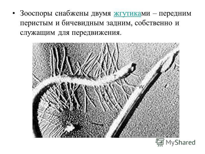 Зооспоры снабжены двумя жгутиками – передним перистым и бичевидным задним, собственно и служащим для передвижения.жгутика