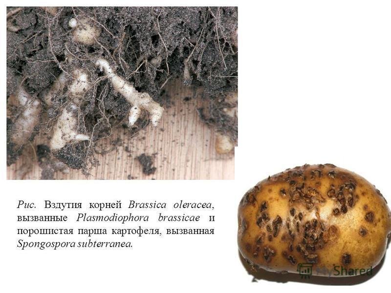 Рис. Вздутия корней Brassica oleracea, вызванные Plasmodiophora brassicae и порошистая парша картофеля, вызванная Spongospora subterranea.