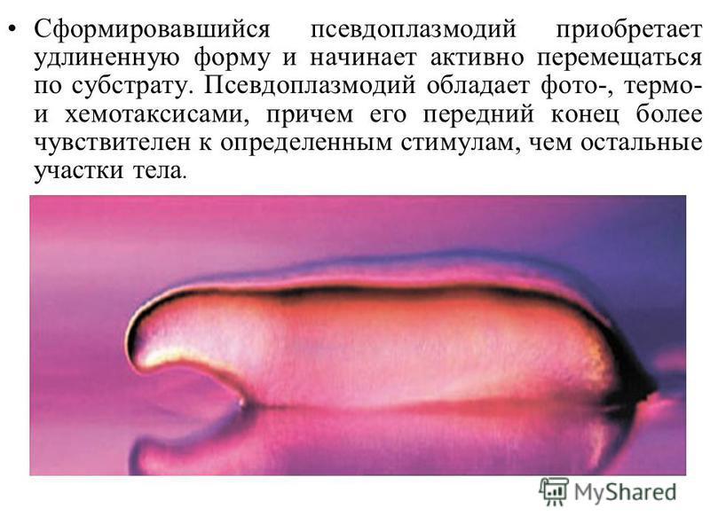 Сформировавшийся псевдоплазмодий приобретает удлиненную форму и начинает активно перемещаться по субстрату. Псевдоплазмодий обладает фото-, термо- и хемотаксисами, причем его передний конец более чувствителен к определенным стимулам, чем остальные уч