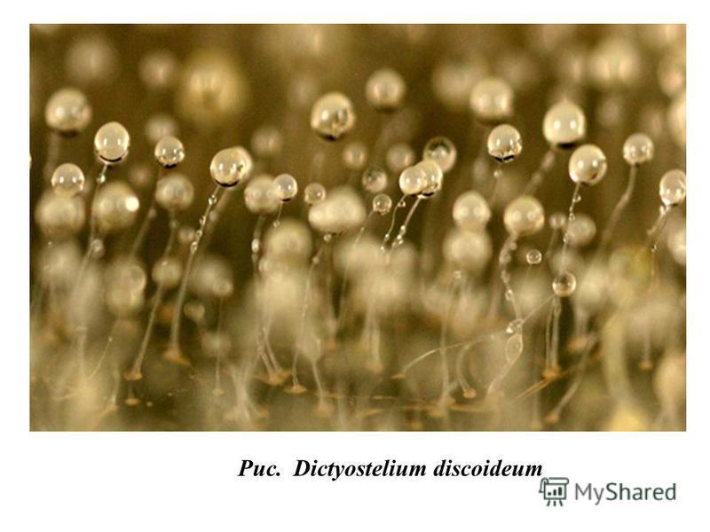 Рис. Dictyostelium discoideum