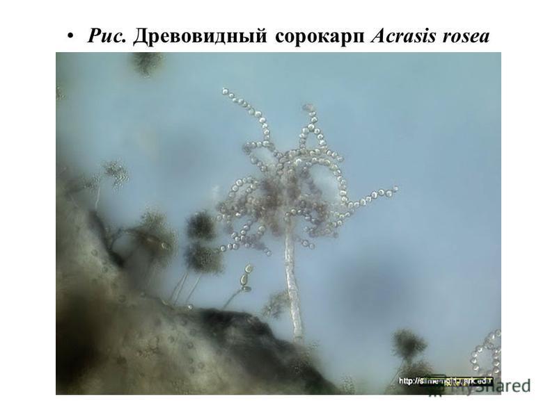 Рис. Древовидный сорокарп Acrasis rosea