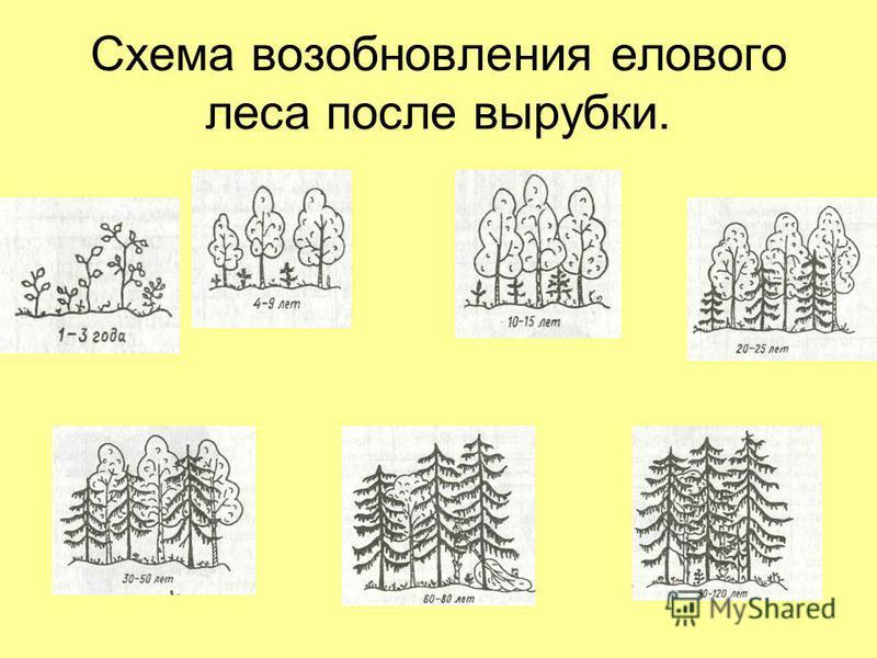 Схема возобновления елового леса после вырубки.
