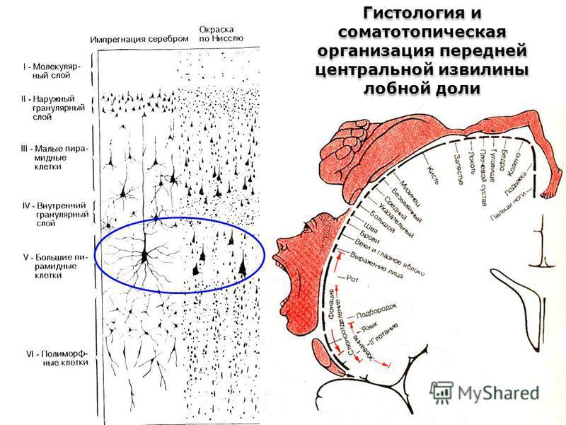 Гистология и соматотопическая организация передней центральной извилины лобной доли