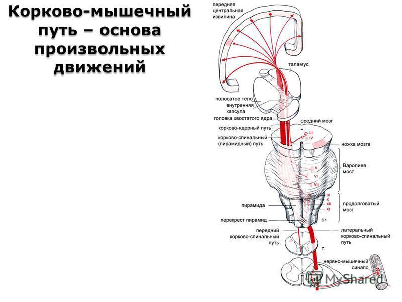 Корково-мышечный путь – основа произвольных движений