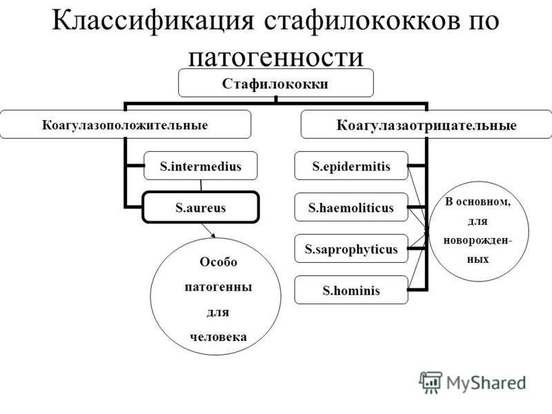 Классификация стафилококков по патогенности Особо патогенны для человека В основном, для новорожденных