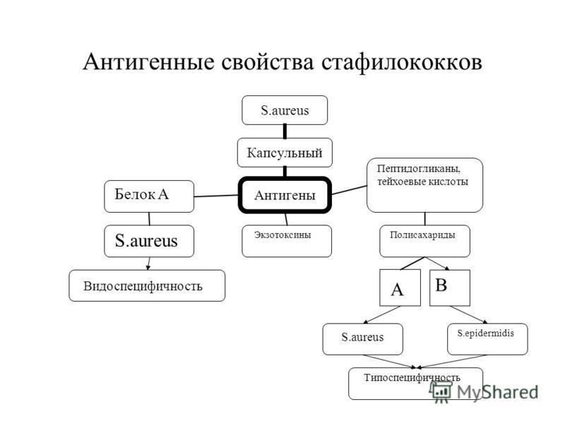 Антигенные свойства стафилококков S.aureus S.epidermidis Экзотоксины Типоспецифичность Белок А S.aureus Видоспецифичность Пептидогликаны, тейхоевые кислоты Полисахариды А В