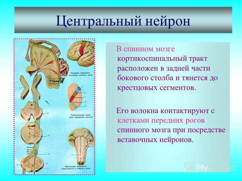 Центральный нейрон В спинном мозге кортикоспинальный тракт расположен в задней части бокового столба и тянется до крестцовых сегментов. Его волокна контактируют с клетками передних рогов спинного мозга при посредстве вставочных нейронов.
