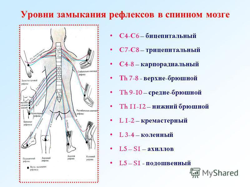 Уровни замыкания рефлексов в спинном мозге С 4- С 6 – бицепитальный С 7- С 8 – трицепитальный С 4-8 – карпорадиальный Т h 7-8 - верхние - брюшной Th 9-10 – средне - брюшной Th 11-12 – нижний брюшной L 1-2 – кремастерный L 3-4 – коленный L5 – S1 – ахи