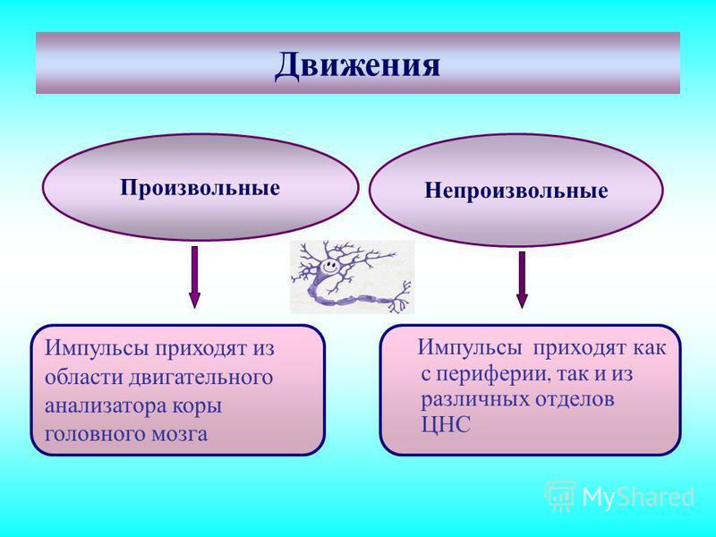 Движения Произвольные Непроизвольные Импульсы приходят как с периферии, так и из различных отделов ЦНС Импульсы приходят из области двигательного анализатора коры головного мозга