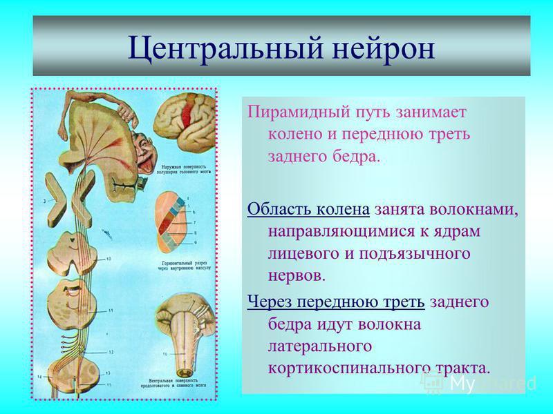Центральный нейрон Пирамидный путь занимает колено и переднюю треть заднего бедра. Область колена занята волокнами, направляющимися к ядрам лицевого и подъязычного нервов. Через переднюю треть заднего бедра идут волокна латерального кортикоспинальног