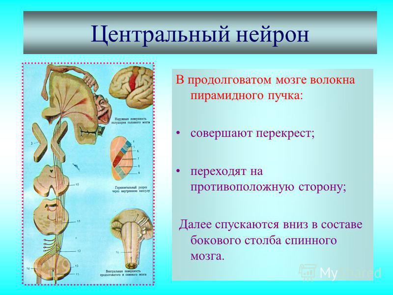Центральный нейрон В продолговатом мозге волокна пирамидного пучка: совершают перекрест; переходят на противоположную сторону; Далее спускаются вниз в составе бокового столба спинного мозга.