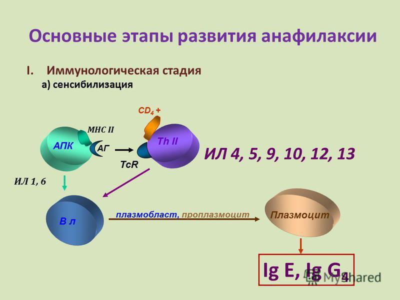 Основные этапы развития анафилаксии I.Иммунологическая стадия а) сенсибилизация АПК Th II MHC II АГ CD 4 + В л Плазмоцит плазм область, проплазмоцит Ig E, Ig G 4 ИЛ 4, 5, 9, 10, 12, 13 ИЛ 1, 6 TcR