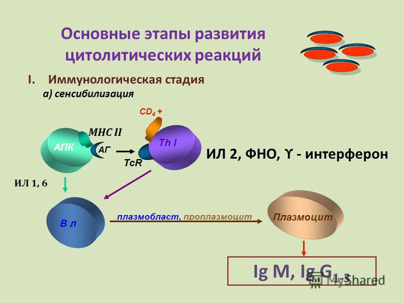 Основные этапы развития цитолитических реакций I.Иммунологическая стадия а) сенсибилизация АПК Th I MHC II АГ CD 4 + В л Плазмоцит плазм область, проплазмоцит Ig М, Ig G 1-3 ИЛ 2, ФНО, ϒ - интерферон ИЛ 1, 6 TcR