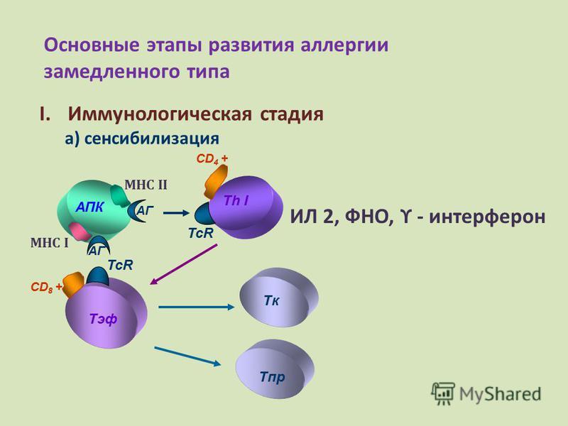 Основные этапы развития аллергии замедленного типа I.Иммунологическая стадия а) сенсибилизация АПК Th I MHC II АГ CD 4 + ИЛ 2, ФНО, ϒ - интерферон TcR МНС I АГ TcR CD 8 + Tэф TкTк Tпр
