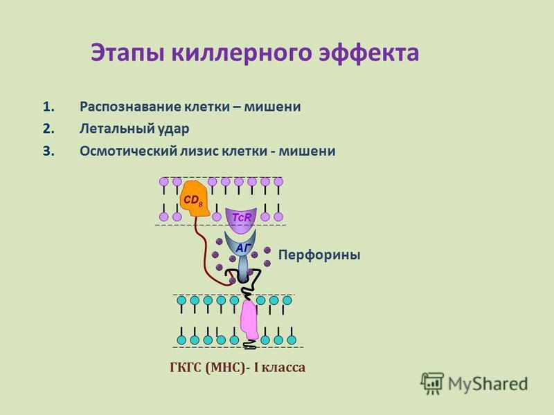 Этапы киллерного эффекта 1. Распознавание клетки – мишени 2. Летальный удар 3. Осмотический лизис клетки - мишени Перфорины ГКГС (МНС)- I класса