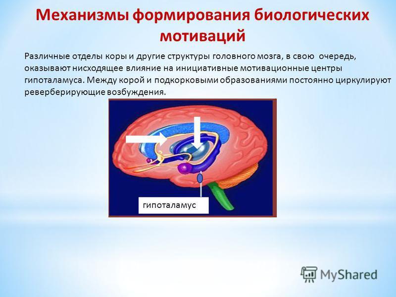 Различные отделы коры и другие структуры головного мозга, в свою очередь, оказывают нисходящее влияние на инициативные мотивационные центры гипоталамуса. Между корой и подкорковыми образованиями постоянно циркулируют реверберирующие возбуждения. Меха