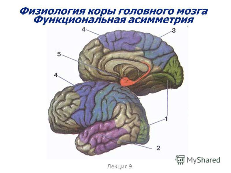 Физиология коры головного мозга Функциональная асимметрия Лекция 9.