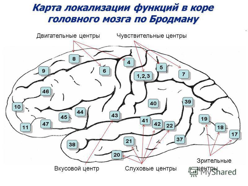 Карта локализации функций в коре головного мозга по Бродману Вкусовой центр Чувствительные центры Зрительные центры Слуховые центры Двигательные центры
