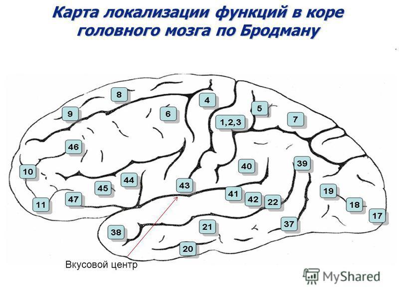 Карта локализации функций в коре головного мозга по Бродману Вкусовой центр